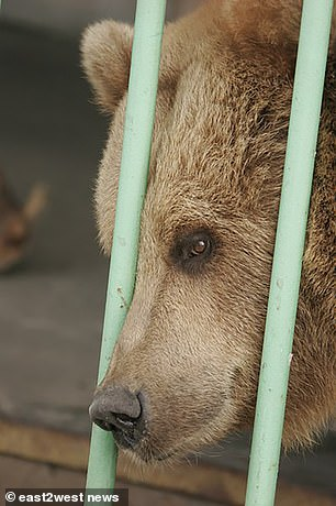 The bear is the only female in the jail which holds 730 'dangerous' criminals, including killers whose sentences do not exceed 25 years